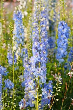 Ideal for small gardens or where space is at a premium, Delphinium 'Magic Fountain Sky Blue' is a shorter variety of Larkspur with elegant but sturdy flower spikes, densely packed with large, semi-double pastel blue florets and contrasting white eyes