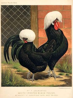 White-Crested Black Polish