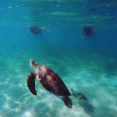 Swam with some turtles for a tick off the bucket list. Mesoamerican, Riviera Maya, Turtles, Tourism, Coastal, Mexico, Bucket, Swimming, Animals
