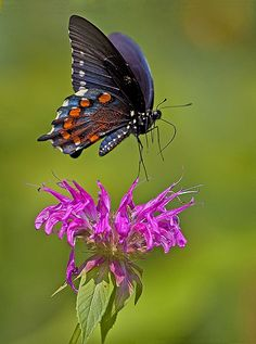 Pipe-vine Swallow-tail on Monarda. Taking off, or just landing? Beautiful Bugs, Beautiful Butterflies, Beautiful Horses, Flying Flowers, Butterflies Flying, Butterfly Drawing, Butterfly Crafts, Butterfly Chrysalis, Cool Backgrounds Wallpapers