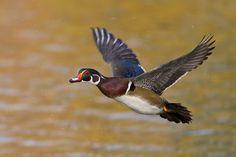 Wood Duck drake in flight (Waterfowl, Ducks)