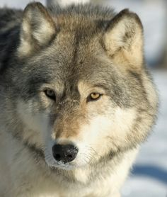 Playing a major character in fairy tales and mythology throughout the ages, the gray wolf (or timber wolf) has been perceived in many different lights, ...
