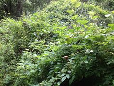north american bushes - Google Search