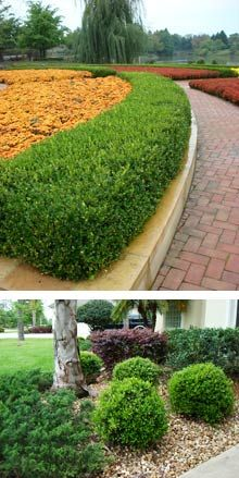 For Boxwood shrubs select an area that gets partial shade where their roots can benefit from cooler temperatures. Boxwood Landscaping, Front Yard Landscaping, Landscaping Ideas, Acreage Landscaping, Backyard Ideas, Garden Shrubs, Shade Garden, Dwarf English Boxwood, Indoor Garden