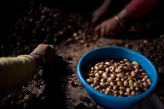 preparing argan nuts to make argan oil Argan Oil, Dog Food Recipes, Plants, Life, Dog Recipes, Plant, Planets