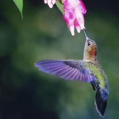 Cuban bee hummingbird(3)- world's smallest bird.