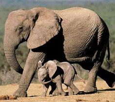 Google Afbeeldingen resultaat voor http://www.vriendenvanafrika.nl/images/600olifanten14.jpg