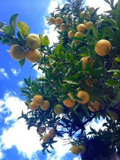 Bald ist die nächste Ernte!!! Viele Zitrus Pflanzen blühen auch schon wieder, während die 2. Ernte noch reift ... Unglaublich ist das !!! #orange