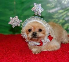 Check out Linda Jean's profile on AllPaws.com and help her get adopted! Linda Jean is an adorable Dog that needs a new home. https://www.allpaws.com/adopt-a-dog/shih-tzu/3762356?social_ref=pinterest