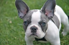Blue-eyed French bull dog, I would love for our next Frenchie to have some of these features.