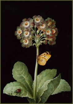 """""""Primula, ladybird and butterfly"""" (18th century) from the circle of Barbara Regina Dietzsch   Flickr - Photo Sharing!"""