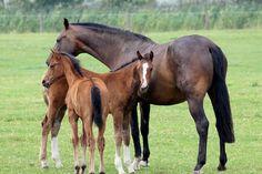 Fohlen, Pferde, Tier, Weide, Säugetier, Jungtier, Stute