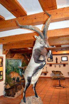 Macho de cabra montesa en el museo de El Hosquillo