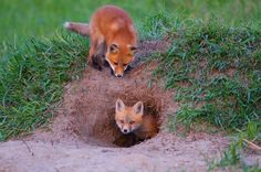 Foxes dig under the ground to create dens for their young, so open fields and thinner forests are their stomping grounds. Adult foxes guard their dens, even sleeping outside the entrance to keep watch. If you stumble upon a hole that looks like it might be a fox den, leave it untouched. Appalachian red fox kits in den.