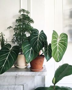 49 Amazing House Plants Indoor Decor Ideas Must Ficus, Indoor Plants, Garden Plants, Potted Plants, Indoor Gardening, Garden Beds, Easy House Plants, Cactus Plante, Decoration Plante