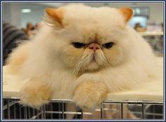 Persian cat average cost