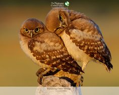 Burrowing Owlet Siblings. Oh my gosh I love them!!!