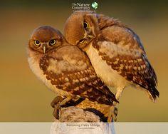 Burrowing Owlet Siblings. Oh my gosh I love them!!!