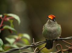 Green-backed firecraown.