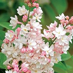 Beauty of Moscow Lilac - spring hill