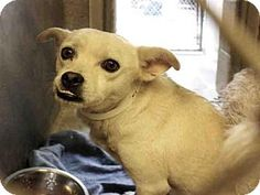 Scottsdale, AZ - Chihuahua Mix. Meet FIONA,   a dog for ADOPTION NOW!! . I'm being cared for by: Maricopa County Animal Care & Control -http://www.adoptapet.com/pet/14357307-scottsdale-arizona-chihuahua-mix