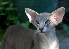 Nice Oriental Shorthair photo