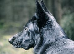 Black Dogs Breeds, Dog Breeds, Schaefer, German, Puppies, Horses, Awesome, Tips, Girlfriends