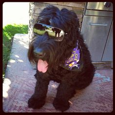 Black Russian Terrier Standard Schnauzer, Giant Schnauzer, Terrier Dogs, Terriers, Black Dog Syndrome, Low Cost Dental Care, Black Russian Terrier, Pictures Plus, We Fall In Love