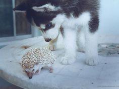 cute husky and hedgehog are friends