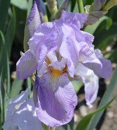TB Iris germanica 'Blue Hill' (Sass, 1931)