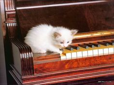 Cute white kitten playing a note on the piano.