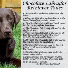 Lab Puppies Chocolate Lab Rules Sweatshirt by dakotasden - You know the Chocolate Labrador Retriever Rules, don't you? Perfect for any brown lab house - the rules may be funny but they are so true! Complete with a beautiful picture of a chocolate Lab dog. Chocolate Labrador Retriever, Black Labrador Retriever, Golden Retriever, Labrador Retrievers, Retriever Puppies, Golden Labrador, Chocolate Labs, Pointer Puppies, Lab Puppies