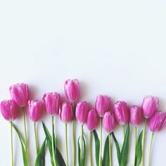 tulips + pink