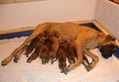 """13. den / 13rd day Vrh """"B"""" Happy Chilli Dogs Litter """"B"""" Happy Chilli Dogs www.happychillidogs.cz"""