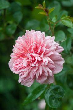 Image result for paul noel rambling rose