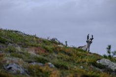 Moose, Finland, Europe