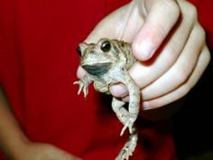 A little frog my son found in Texas.  He is trying to hold him very carefully.  He let him go back into the woods soon after finding him.  It had been raining and the frogs love to come out then.  We were enjoying the frogs.