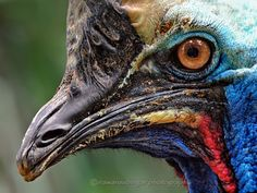 the face of Cassowary by Irawan Subingar on 500px