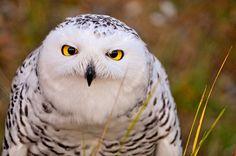 Evil looking owl by Tambako the Jaguar, via Flickr
