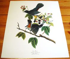 LARGE Audubon Folio Fine Art Print Cat Bird 30 Great Birds of America Paintings