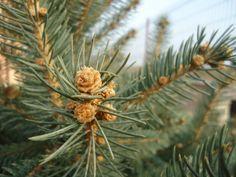 Colorado blue spruce-Picea pungens glauca male cones