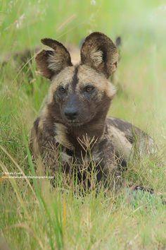 Painted Dog — Kruger National Park, South Africa