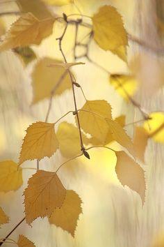 Magic light on the birch tree