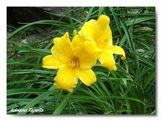 Nome: Lilium   Nome Comune: Giglio   Famiglia: Liliaceae