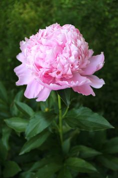 Peonies In Bloom by Alta : HGTV Gardens --> http://www.hgtvgardens.com/photos/peonies-in-bloom-00000146-1f20-d58f-adee-1fee31110000?soc=pinterest