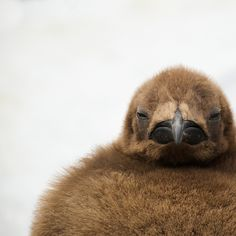 Little King Penguin