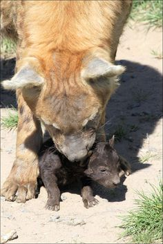 Hyena met jong