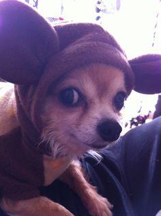 Chihuahua?