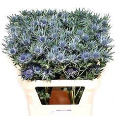 Eryngium Orion Questar (Sea Holly) is a small multi-headed purple/blue decorative thistle. 50cm tall & wholesaled in 25 stem wraps.