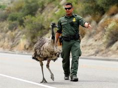 U.S. Customs and Border Patrol Officer Constantino Zarate tries to herd an Emu off the highway as a wildfire continues to burn north of the U.S. Mexico border near Potrero, California, June 21.
